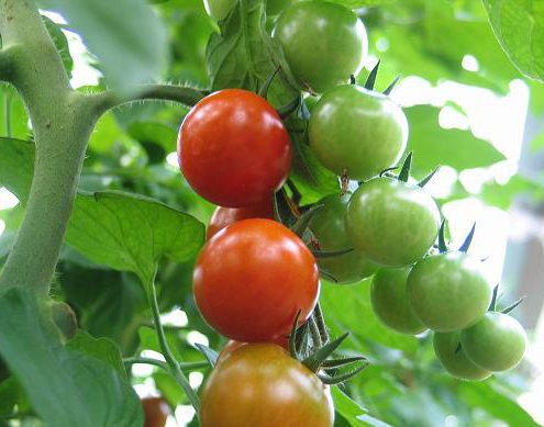 Tollgrün-Tomate