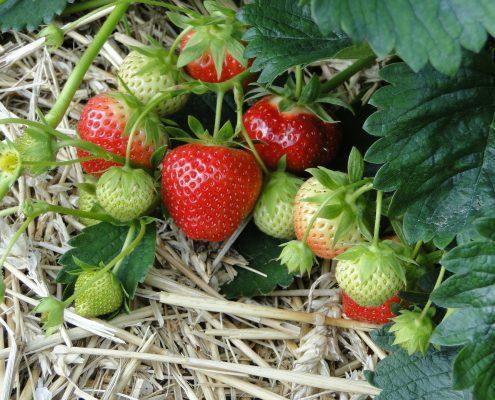 strawberries-196798_1920