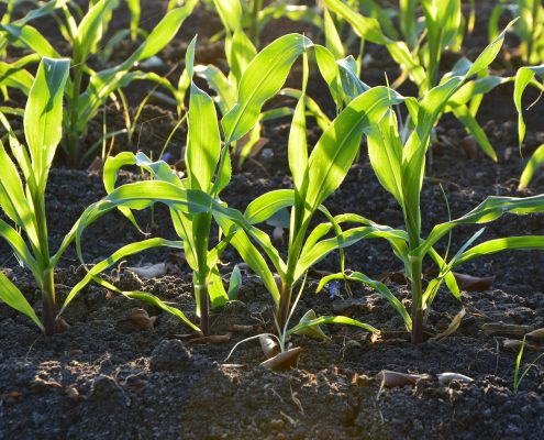 corn-1841271_1920